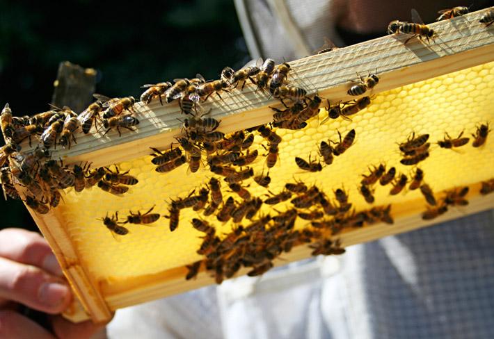 Bees_main2