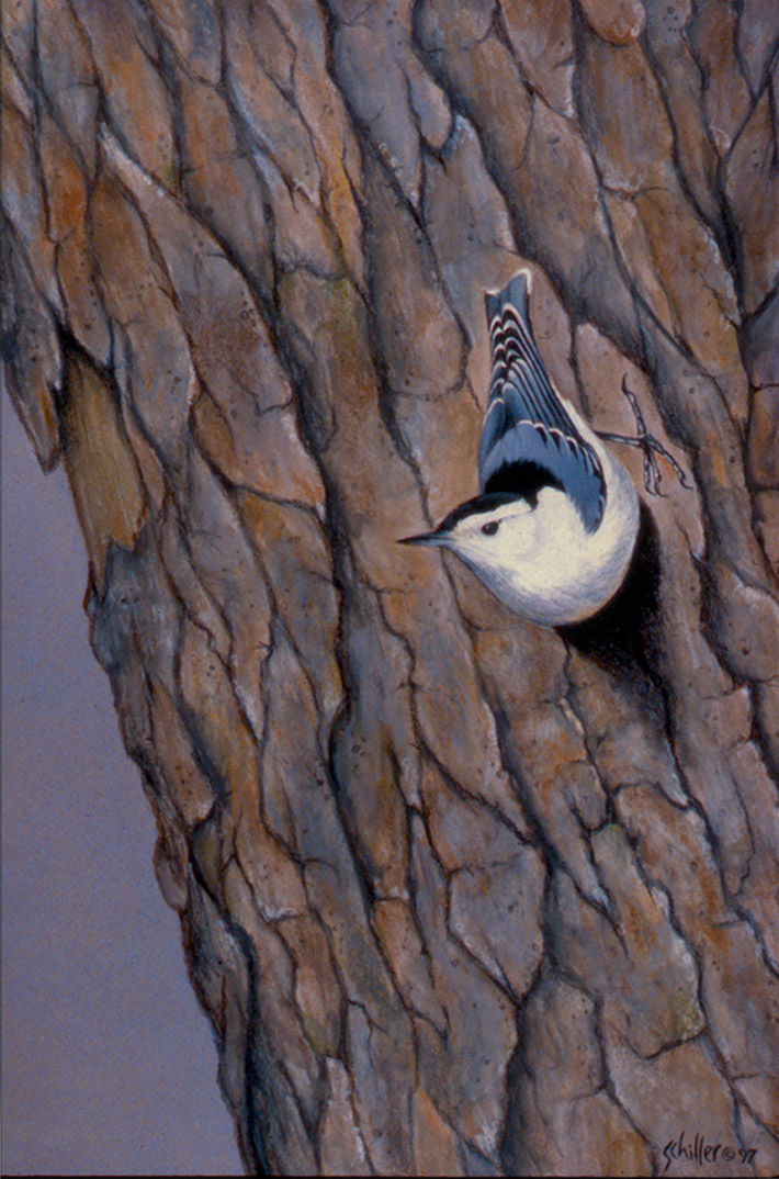 Nuthatch_main