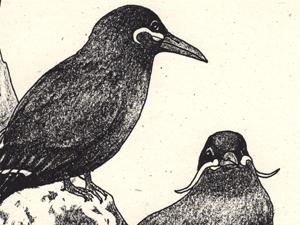 Inca Tern Regional Studbook