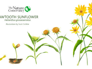 Sawtooth Sunflower